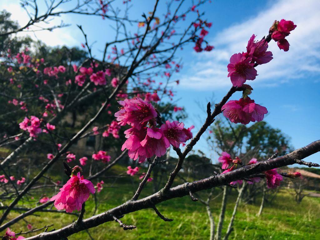 八重島公園の桜