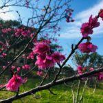 家族で桜の花見をするならココ!!隠れた桜スポット沖縄市の八重島公園